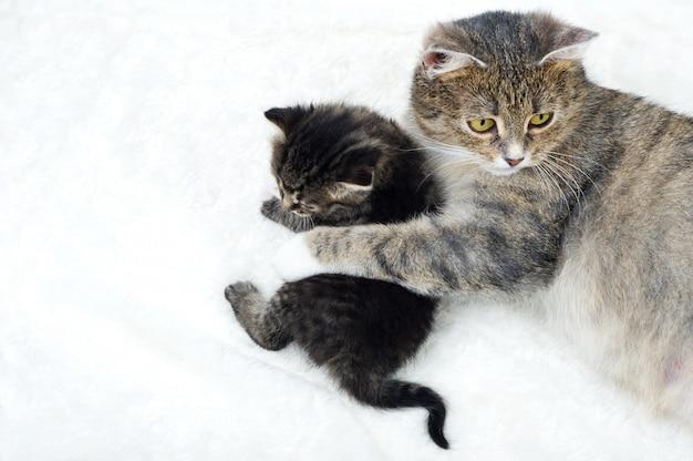 Kot z małą figlarką na białym tle.