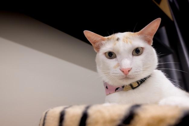Kot z perkalu patrzy na mnie z zainteresowaniem.