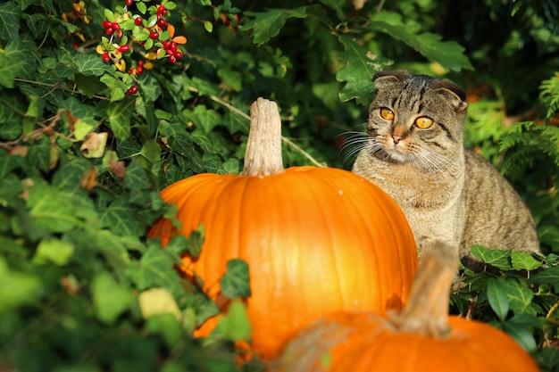 Kot z pomarańczowymi dyniami w zielonym bluszczu. halloween jesienny nastrój. jesienny czas.