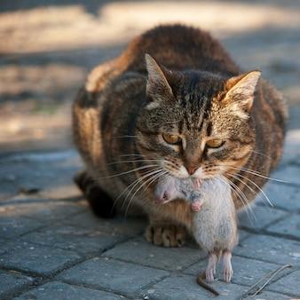 Kot złapał szczura i trzyma go w ustach