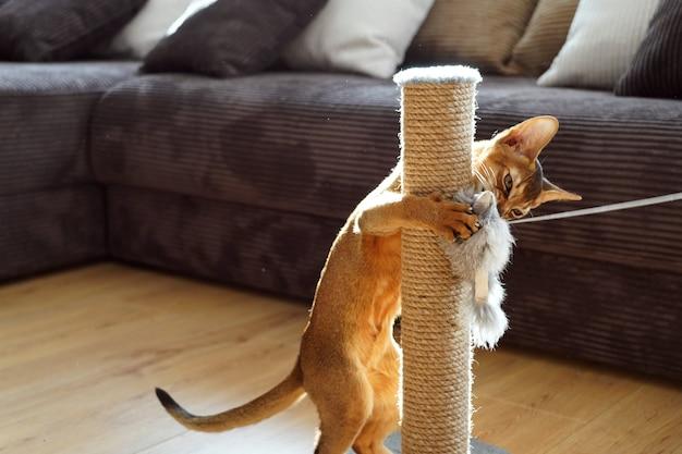 Kotek abisyński bawiący się myszką w salonie