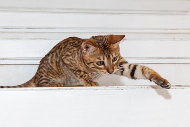 Kotek bengalski, kotek bengalski z zabawną buzią, kotek opiekuje się zabawką