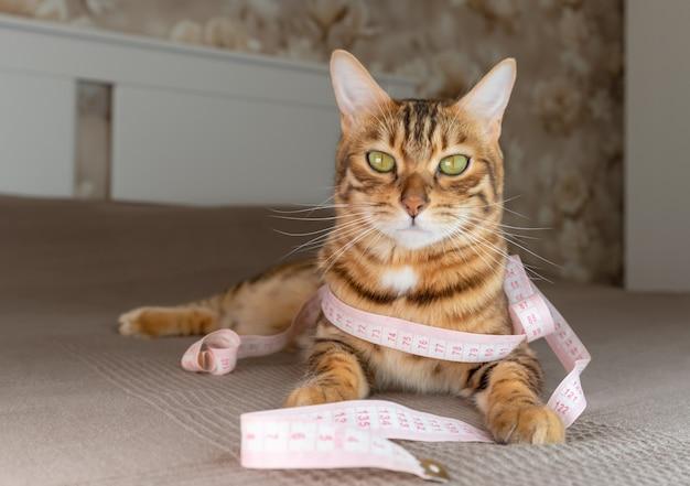 Kotek bengalski leży na łóżku z miarką na szyi