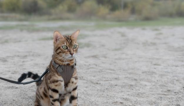 Kotek bengalski w brązowych szelkach siedzi na piasku na zewnątrz.