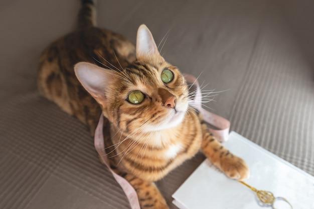 Kotek bengalski z miarką i książeczką leży w pokoju