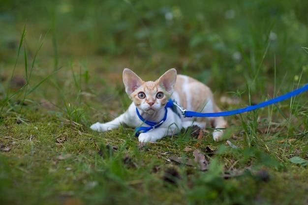 Kotek devon rex spacerujący po lesie