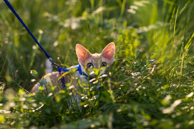 Kotek devon rex ukrył się w trawie