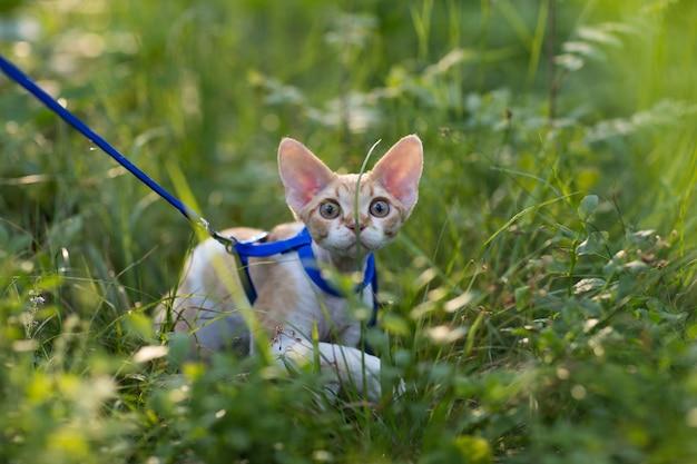 Kotek devon rex w trawie w słoneczny dzień