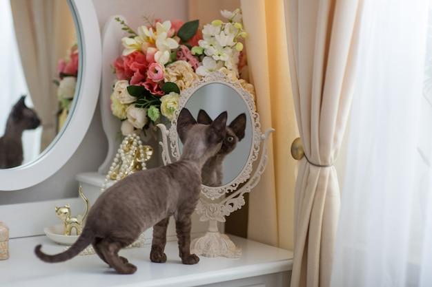 Kotek devonrex patrząc w lustro