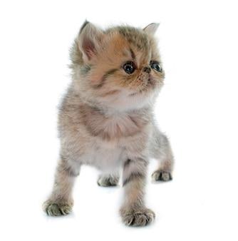 Kotek egzotyczny krótkowłosy