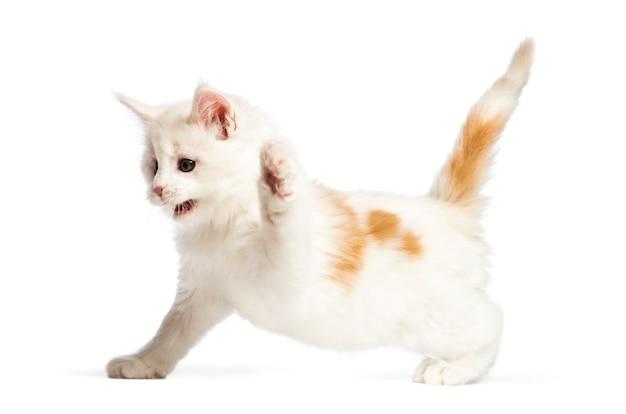 Kotek maine coon, 8 tygodni, przed białą powierzchnią