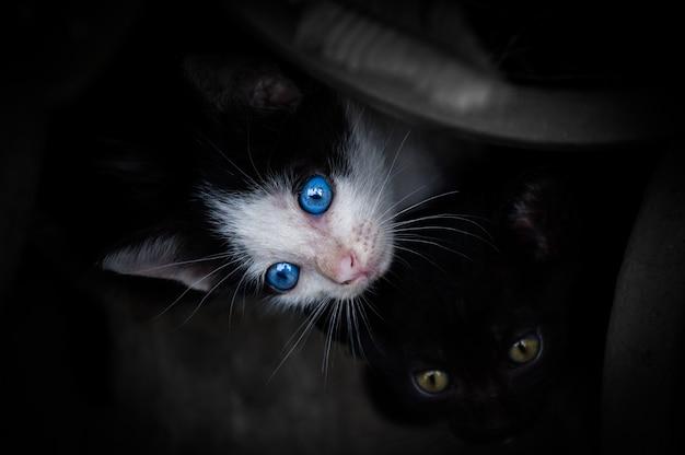 Kotek o pięknych niebieskich oczach