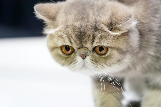 Kotek perski krótki kapelusz i brązowy wzór tygrysa na nim futro stojące na białym stole.