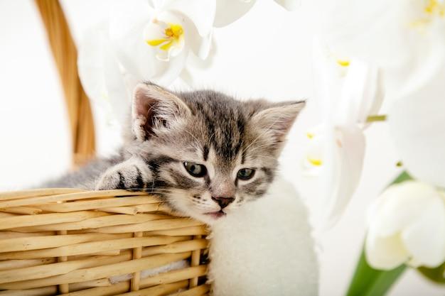 Kotek portrat. ładny szary pręgowany kotek siedzi w wiklinowym koszu na białej kratę jako prezent z białymi kwiatami orchidei. noworodek kociak kot dla dzieci kid zwierzę domowe. domowy zwierzak. przytulna domowa zima.