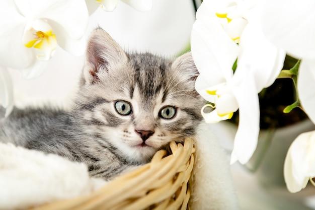 Kotek portrat. śliczny szary pręgowany kotek siedzi w koszu na białą kratę jako prezent z białymi kwiatami orchidei. noworodek kociak kot dla dzieci kid zwierzę domowe. domowy zwierzak. przytulna domowa zima.