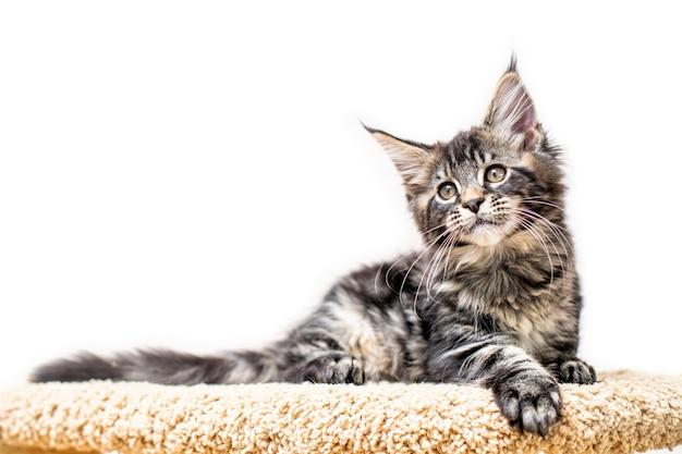 Kotek pręgowany szary maine coon leżący na drapak na białym tle