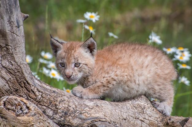 Kotek rysia syberyjskiego siedzący na pniu i otoczony stokrotkami