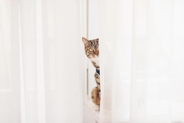 Kotek siedzący na parapecie i wypatrujący zasłon