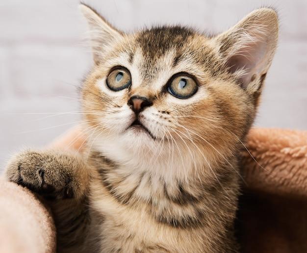 Kotek szynszyla brytyjska złoty tyknięty prosto, kot patrzy w górę
