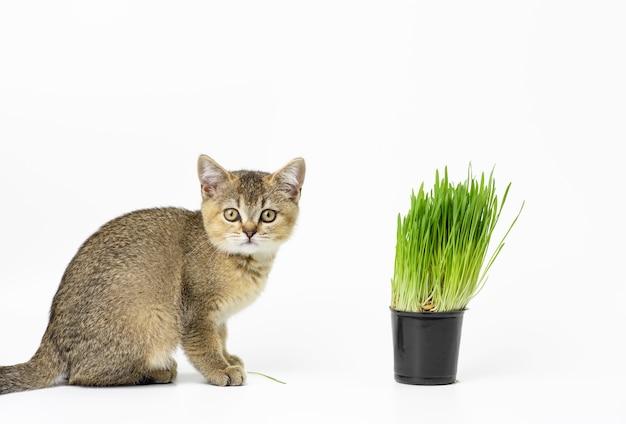 Kotek szynszyla brytyjska złoty tyknięty prosto siedzi na białej powierzchni, obok doniczki z rosnącą zieloną trawą