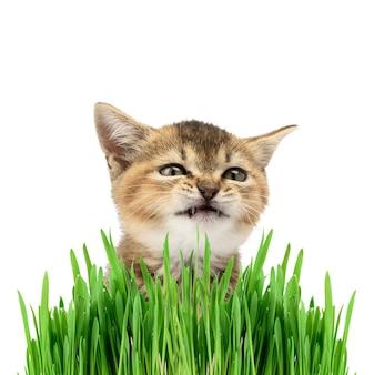 Kotek szynszyla brytyjska złoty tyknięty prosto siedzi na białym tle i zielonych liściach kiełkujących zbóż, kot robi śmieszną minę