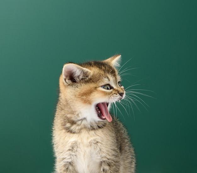 Kotek szynszyla szkocka ze złotym tyknięciem siedzi prosto, zwierzę ziewa, język wystaje