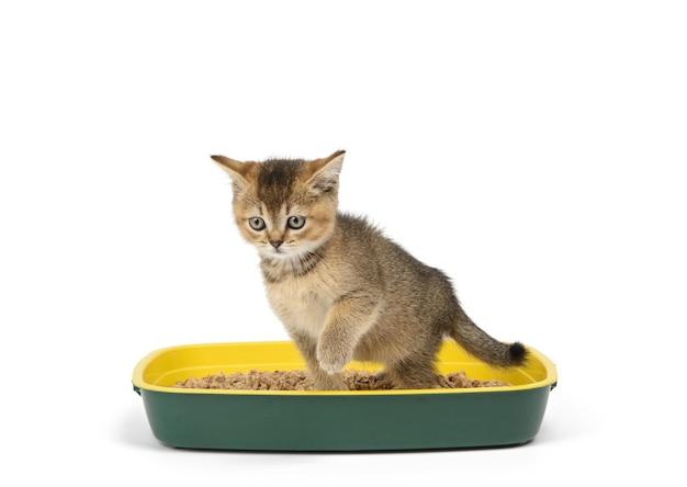 Kotek szynszyla szkocka złotowłosy prosto siedzący w plastikowej toalecie z trocinami. zwierzę na białym tle
