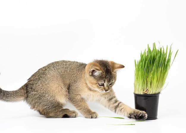 Kotek szynszyla szkocka złotowłosy prosto siedzi na białej powierzchni, obok doniczki z rosnącą zieloną trawą