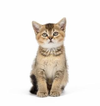 Kotek szynszyla szkocka złotowłosy prosto siedzi na białej powierzchni