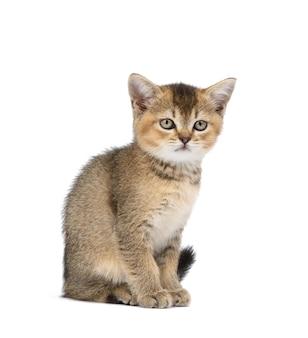Kotek szynszyli brytyjskiej golden ticked siedzi z przodu na białej ścianie na białym tle