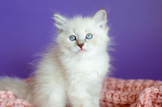 Kotek w dzianinowym kocu na fioletowym tle