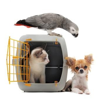 Kotek w nosidełku dla zwierząt domowych, papuga i chihuahua