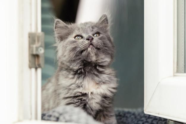 Kotek w oknie. mały figlarny puszysty szary kotek na parapecie wewnątrz domu wygląda przez okno. kot domowy wąchający na zewnątrz zapach samotny we wnętrzu domu. portret kota.