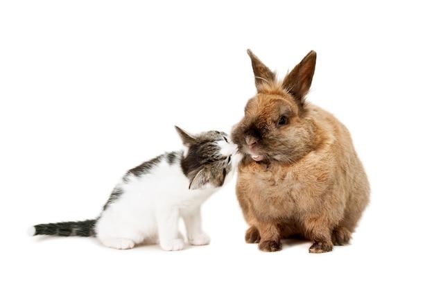 Kotek wąchający brązowego królika. na białym tle.