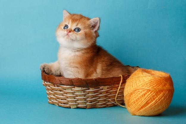 Kotek złota szynszyla brytyjska na niebieskim tle z piłką