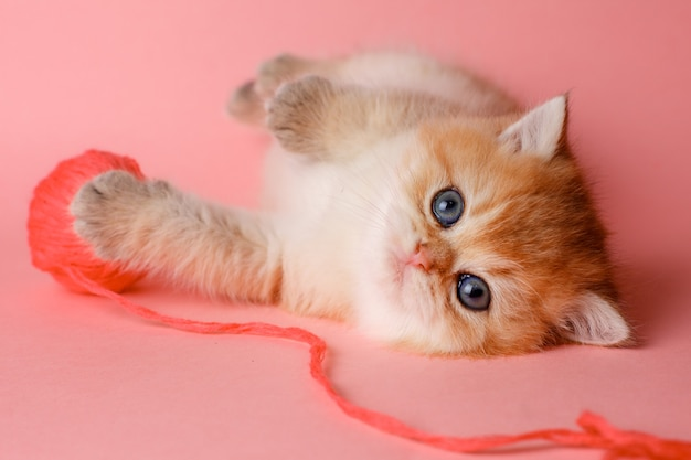 Kotek złota szynszyla brytyjska na różowym tle z kulką