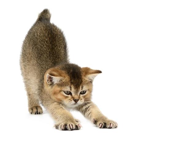 Kotek złoty tyka szynszyla brytyjska prosto na na białym tle. kociak rozciąga się po śnie