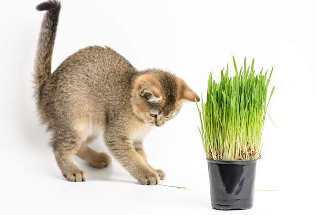 Kotek złoty tyknięty szynszyla szkocka prosto siedzi na białym tle, obok doniczki z rosnącą zieloną trawą