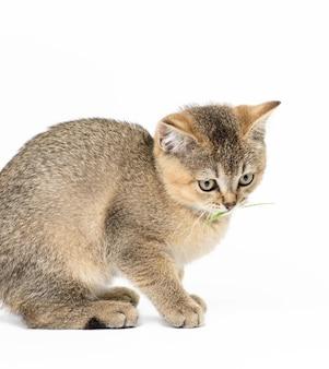 Kotek złoty tyknięty szynszyla szkocka prosto siedzi na białym tle, z bliska