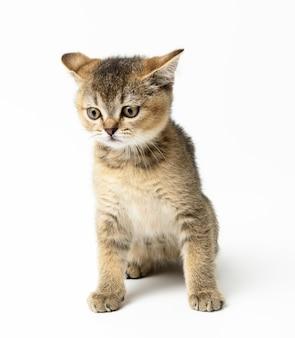 Kotek złoty tyknięty szynszyla szkocka prosto siedzi na białym tle