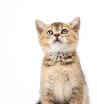 Kotek złoty tyknięty szynszyla szkocka prosto siedzi z przodu na białym tle, kot patrzy w górę