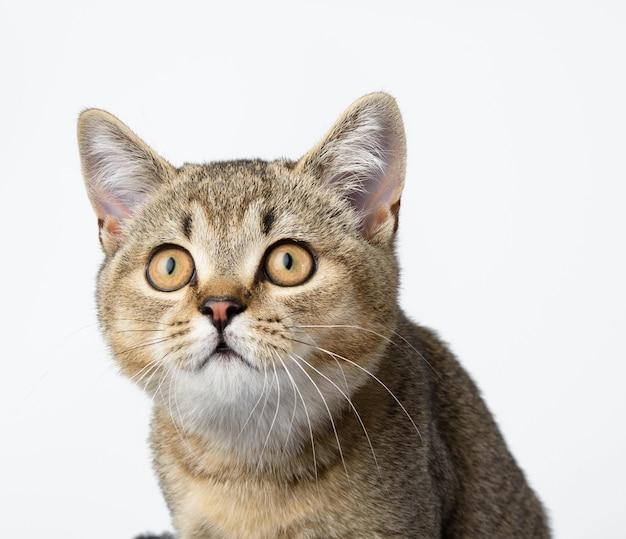 Kotek złoty tyknięty szynszyla szkocka prosto siedzi z przodu na białym tle, z bliska