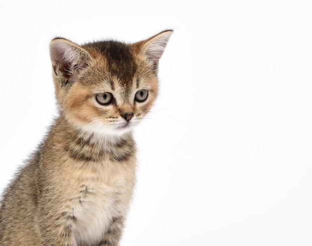 Kotek złoty zaznaczony szynszyla szkocka prosto siedzi na białym tle, kopia przestrzeń