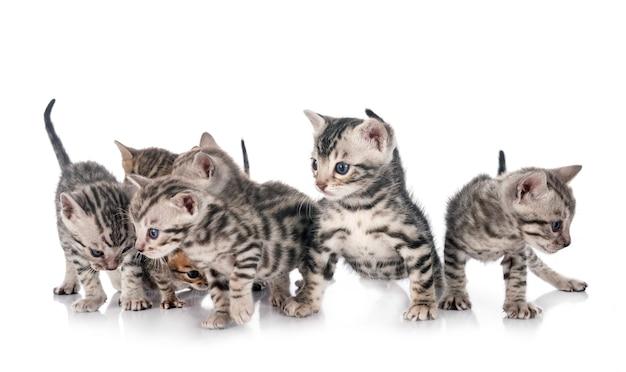 Koty bengalskie na białym tle