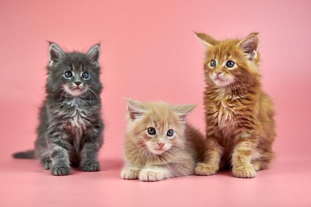 Koty maine coon na różowym tle