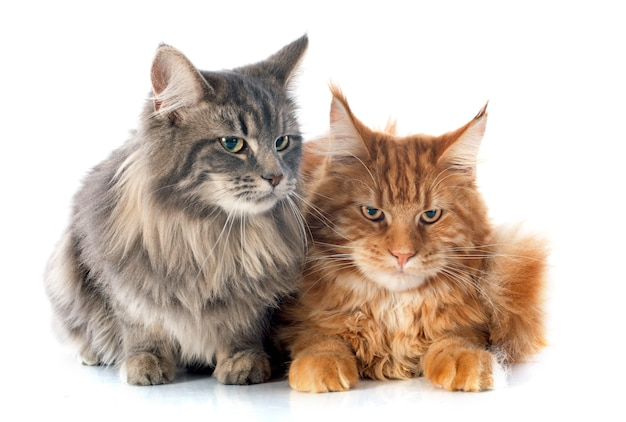 Koty maine coon
