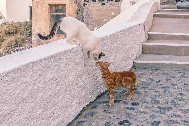 Koty na ulicy w santorini, grecja.