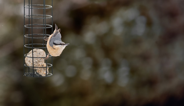 Kowalik zwyczajny europaea ptak sitta na karmniku z rozmytym tłem