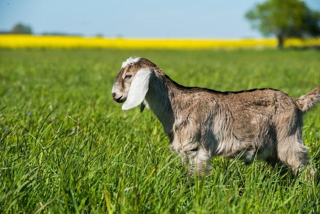 Koza burska południowoafrykańska lub portret doeling kozi na zewnątrz natura