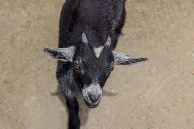 Koza czarny dziecko patrząc w kamerę. ścieśniać.